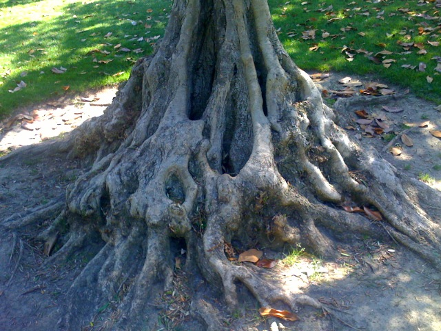 Gnarled tree, Kelly Park, San Jose
