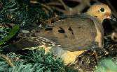 Mourning_dove_y_s